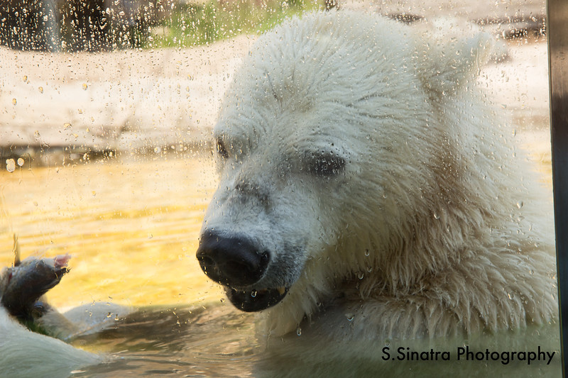 polar bear (9 of 50).jpg