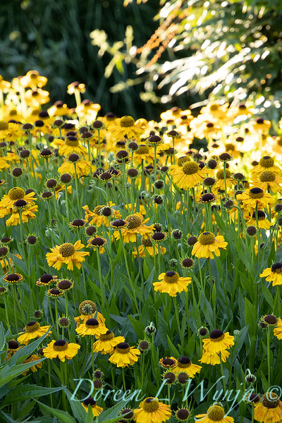 Helenium 'Wyndley' in a landscape_6075.jpg