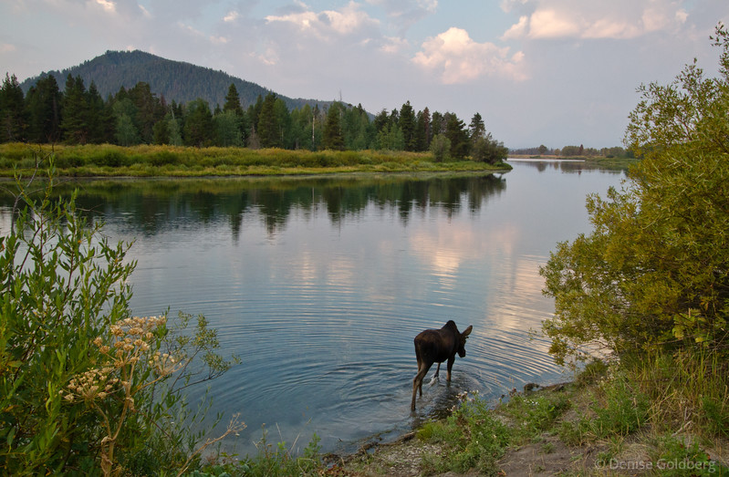 moose at Oxbow Bend