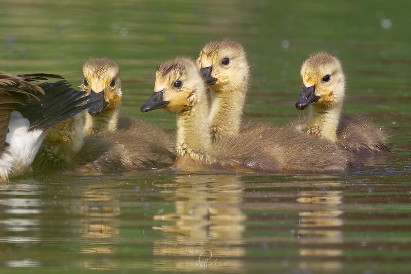 sm goslings_M4D5655.jpg