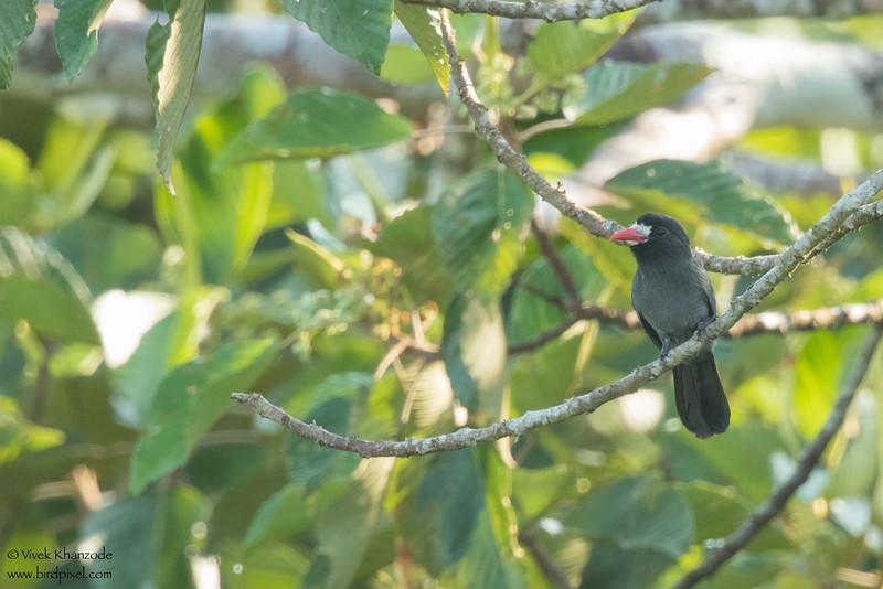 White-fronted Nunbird - Record - Amazon, Ecuador
