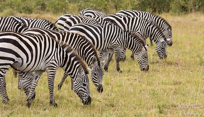 Masai Mara, Kenya Part III