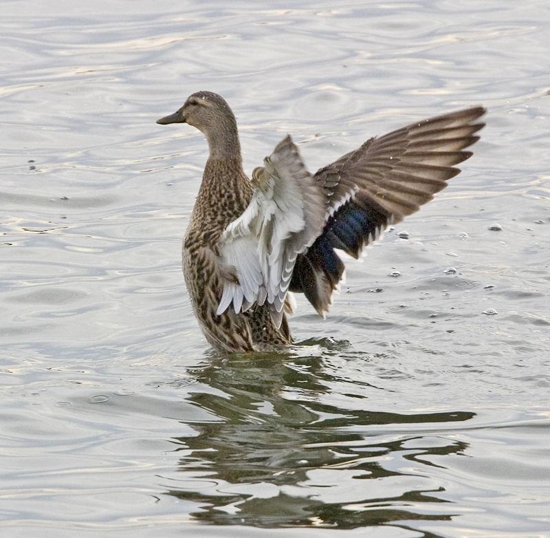 duck3 copy.jpg