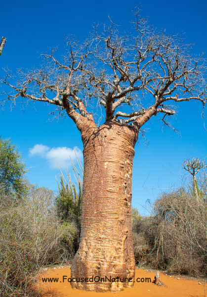 The mighty Baobab Tree