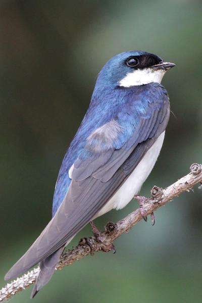 Tree Swallow.jpg