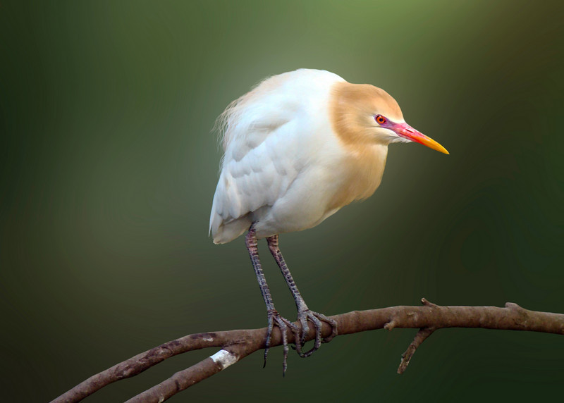 CATTLE EGRET - CALIFORNIA