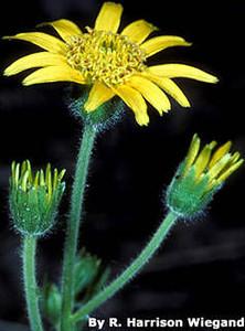 Arnica acaulis (Asteraceae)