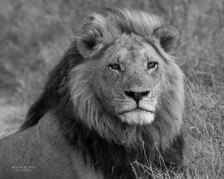 African Lion, b&w, Savuti, Chobe NP, Botswana, May 2017-16.jpg