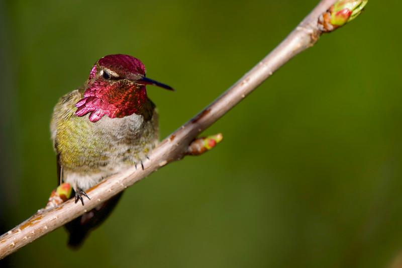 Anna's Hummingbird in Back Yard
