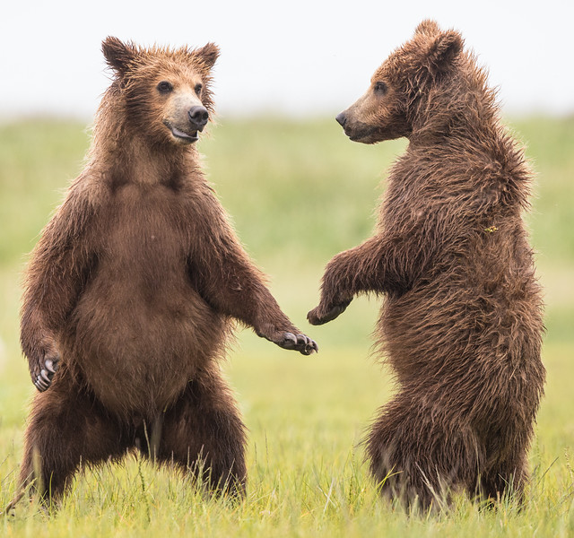 alaska-bears-26.jpg