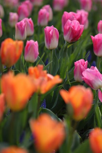 Tulips-2010 03.JPG
