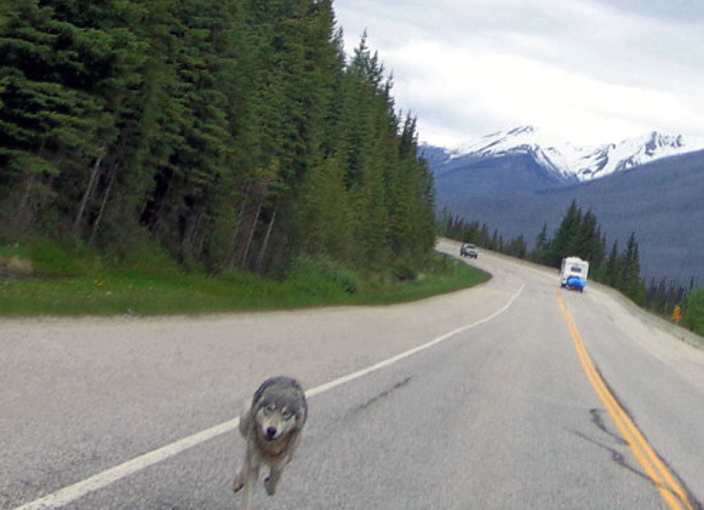 . Motorcyclist Tim Bartlett caught this image of a wolf chasing him on a highway in Kootenay National Park in British Columbia, Canada, June 8, 2013. Bartlett said the animal kept after him for more than half a mile, sometimes getting within several feet. Bartlett stopped on the road to take  pictures of his pursuer; when he accelerated again, the wolf disappeared into the forest.   (AP Photo/Tim Bartlett)