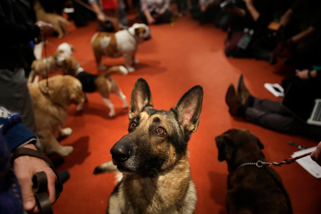 . FILE -- A German Shepard named Commander attends a news conference at the American Kennel Club in New York, Wednesday, Jan. 30, 2013.  American Kennel Club rankings being released Wednesday, March 28, 2018 show Labs remain the country�s most popular purebred dog for a 27th year, while German shepherds and golden retrievers have hung onto the second and third spots. (AP Photo/Seth Wenig)