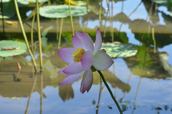 Kenilworth Lotus garden