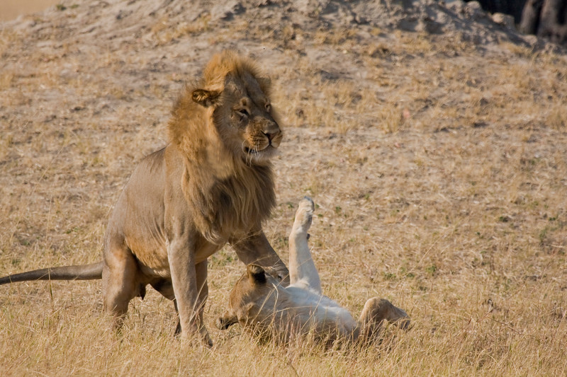 LION PAIR 5.jpg
