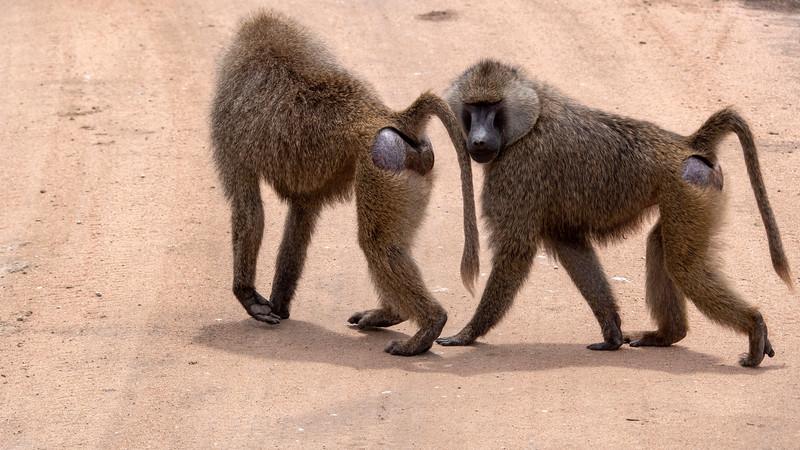 Tanzania-Tarangire-National-Park-Safari-Baboon-01.jpg