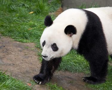 Southern China - Pandas