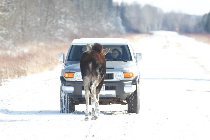 Moose cow November 19 CR47 Sax-Zim Bog MN IMG_9922.jpg