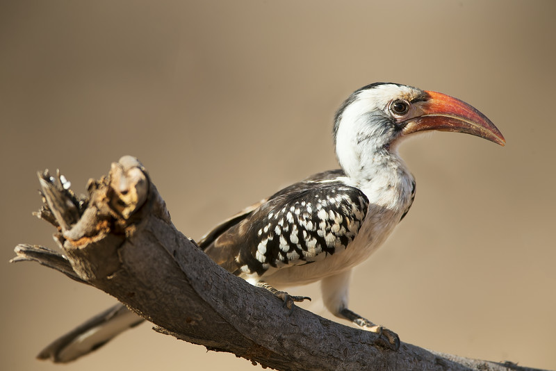 Eastern Red-billed Hornbill