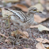 Eurasian thick-knee and her chicks