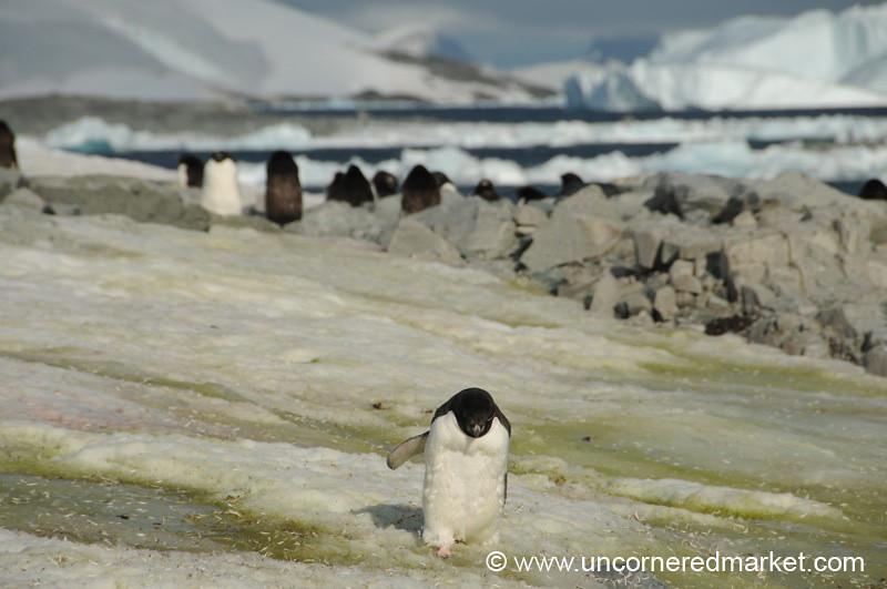 Penguin Sprint - Prospect Point, Antarctica