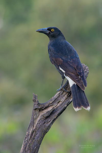 Pied Currawong, Worongary, QLD, March 2016-1.jpg