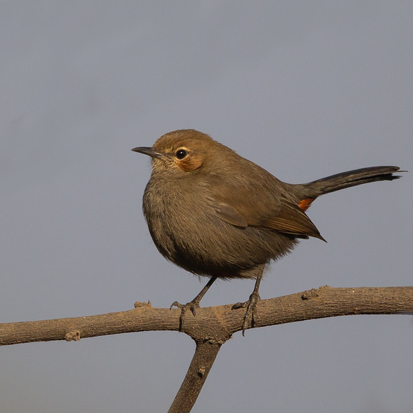 Indian Robin - Female - Around Koradi Lake, Nagpur, India