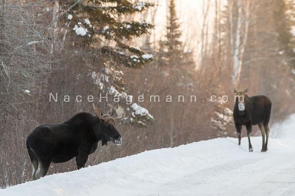 Moose 2014-15 Winter