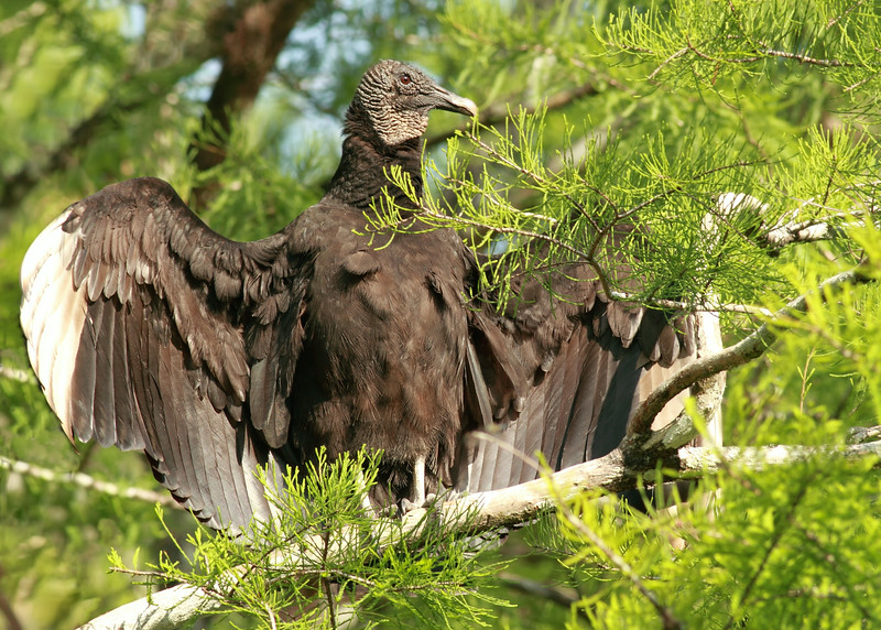 Black vulture enjoying the Florida sunshine
