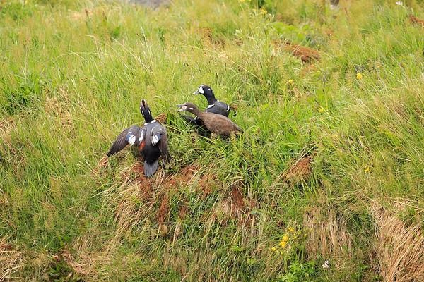 Harlequin Duck Iceland 2016