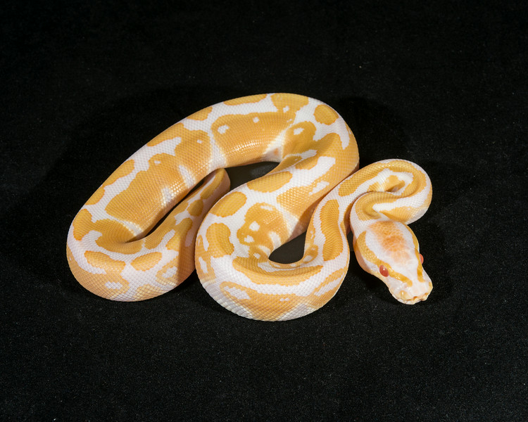 Albino M0414, sold Bill B,