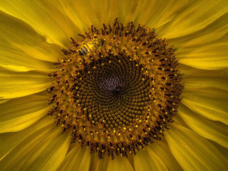 July 11 - Bee in flower.jpg