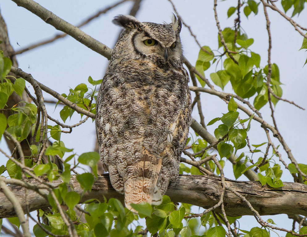 Great Horned Owl - Wheatland County