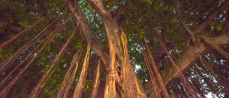 Banyan Tree 20