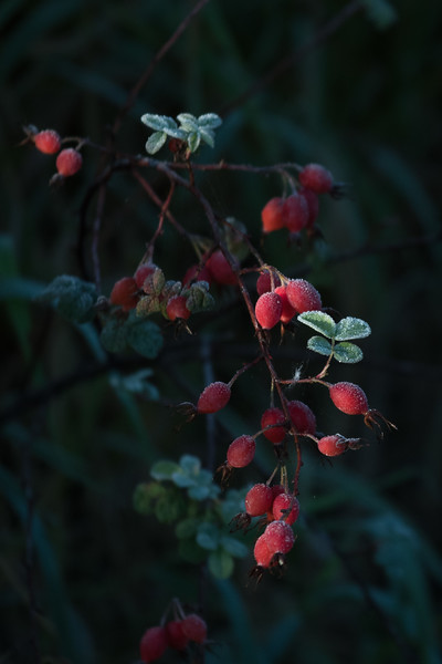 Frost on Rosehips