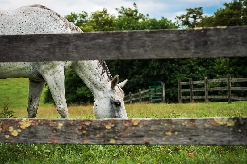 White horse grazing_DSC3163b.jpg
