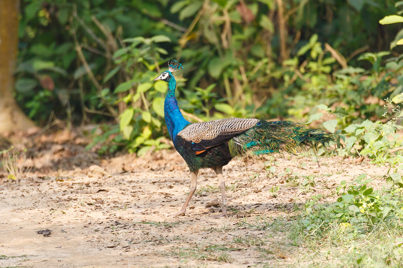 A Male Indian Peafowl (Pavo cristatus)(peacock) is seen strutting its stuff in Chitwan National Park