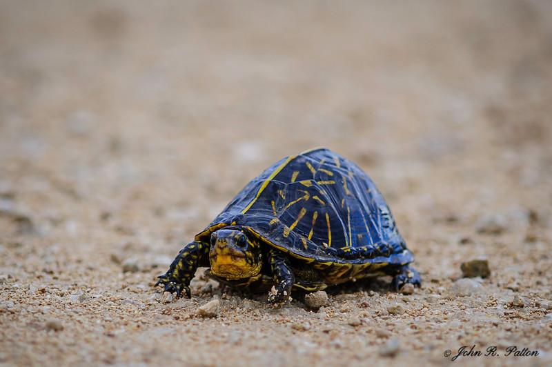 Florida Box Turtle. Terrapene bauri. Big Cypress National Preserve. Western Everglades. Florida. JPat_170301__D3S2278