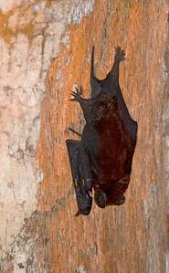 Leaf-nosed Bats
