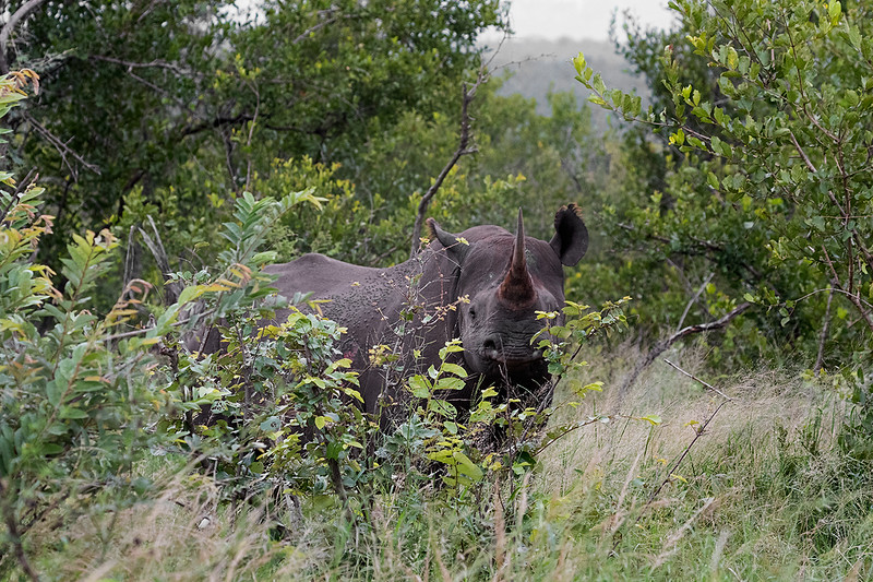 Black Rhinoseros