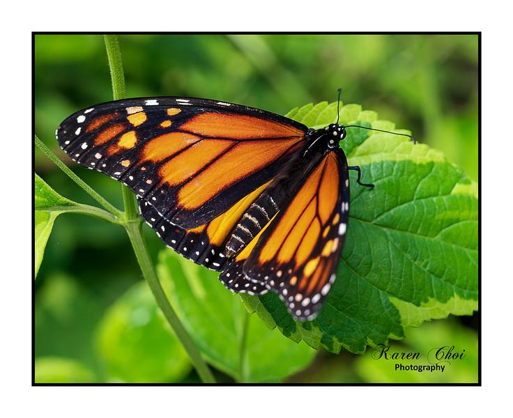 sm Closeup Orange butterfly on green.jpg