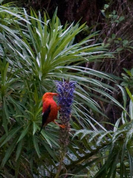 'I'iwi (Vestiaria coccinea) on Lobelia grayana in TNC's Waikamoi Preserve (East Maui) PT20100926_024337.jpg