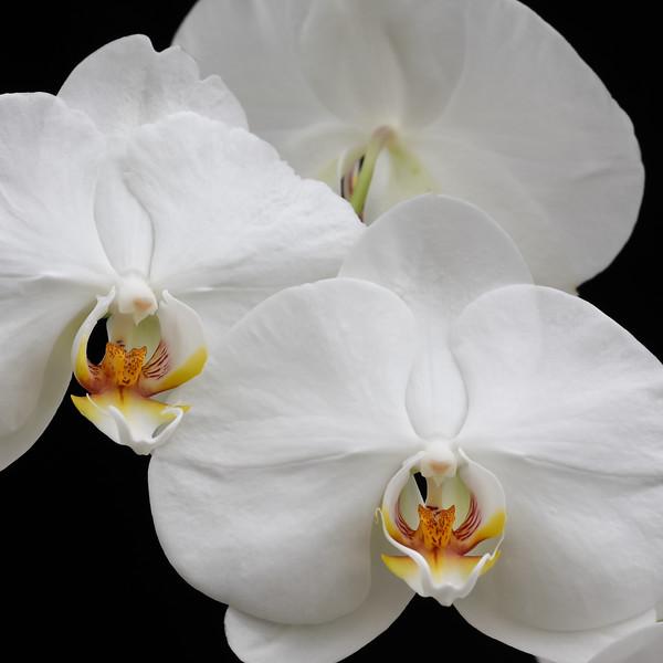 Phalaenopsis Taisuco Kochdian_0061.jpg