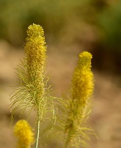 California Wildflowers-Plants
