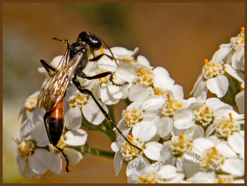 Wasp on Yarrow - Judith Sparhawk