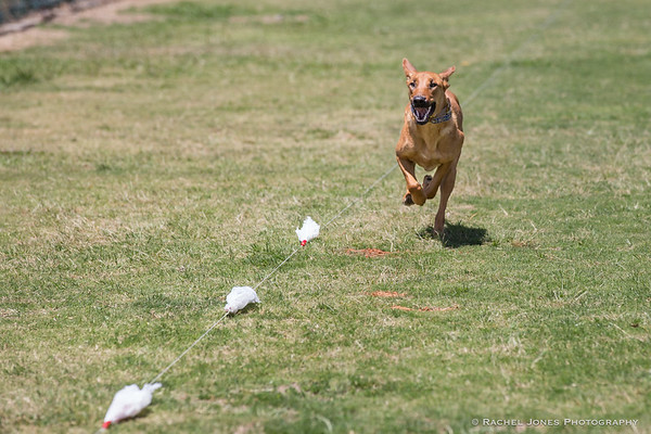 Lure Coursing - 20 May 2017