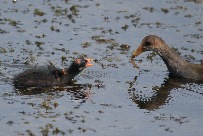 zzAnahuac 8-31-14 350A, Moorhen chick gets fed SMALL.jpg