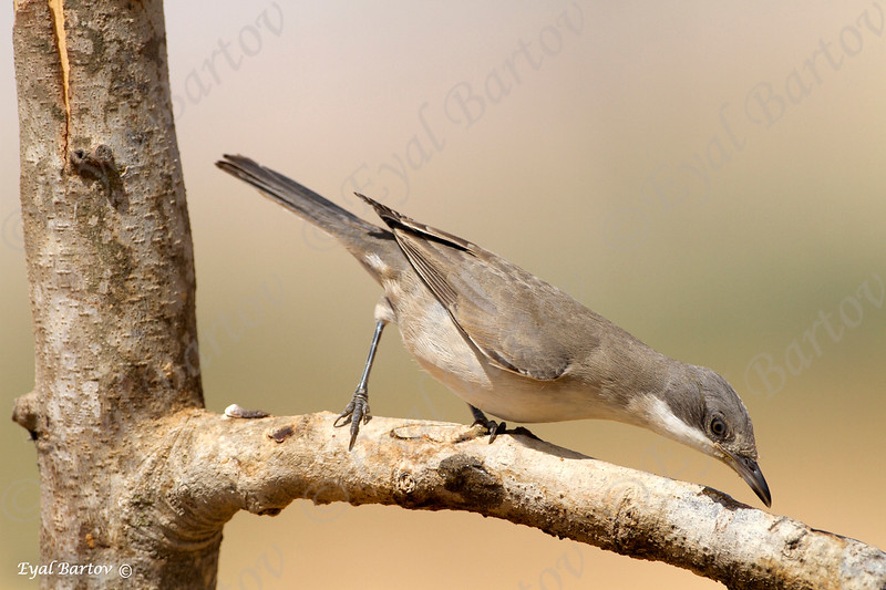 Orphean Warbler, Sylvia hortensis