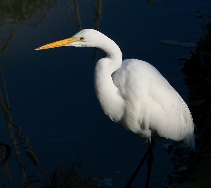 Great egret in the morning near Marina Park, San Leandro, CA.