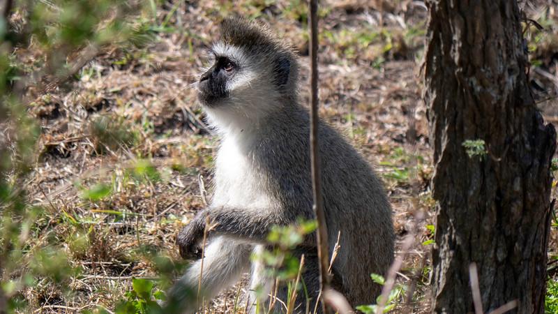 Tanzania-Serengeti-National-Park-Safari-Vervet-Monkey-01.jpg